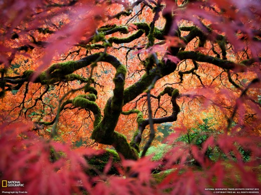 Fred An - Japanese Maple - Oregon