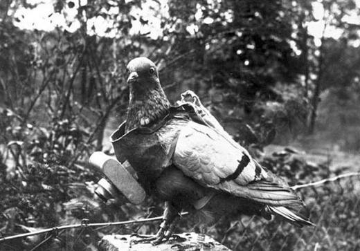 Pigeon1.jpg.CROP.article920-large